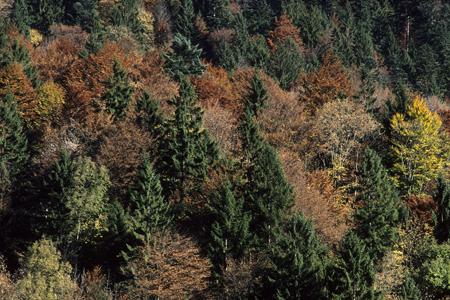 Bergmischwald im Herbst