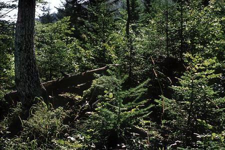 Verjüngung Bergmischwald, Schliersee / Tuschberg, Bayerische Alp