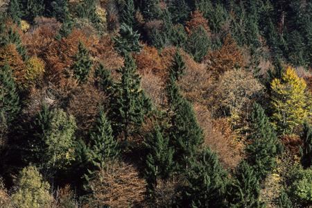 Bergmischwald im Herbst, Urfeld / Walchensee, Bayerische Alpen