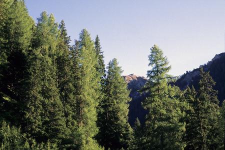 Lärchen-Fichten-Wald, Münstertal, Schweiz, 10.9.1997