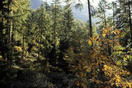 Lärchen-Fichten-Wald mit Vogelbeere, Timmelsjoch, Österreich, 19