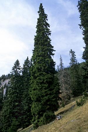 Subalpiner Fichtenwald, aufgelichtet, Waldschäden, Borkenkäfer