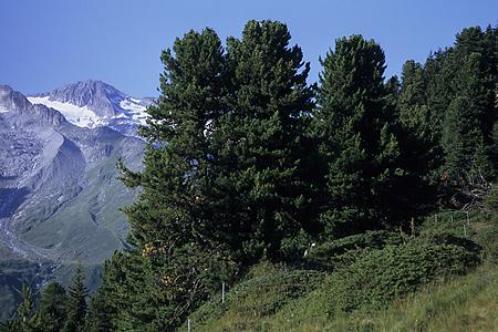Aletschwald, Wallis, Schweiz, 15.8.2001