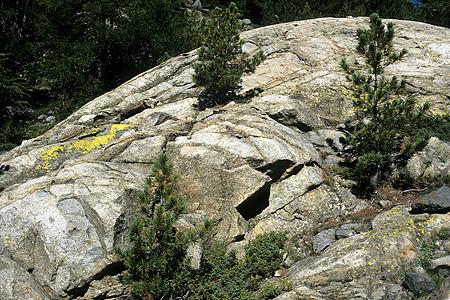 Arvenverjüngung durch Tannenhäher in Felsspalten