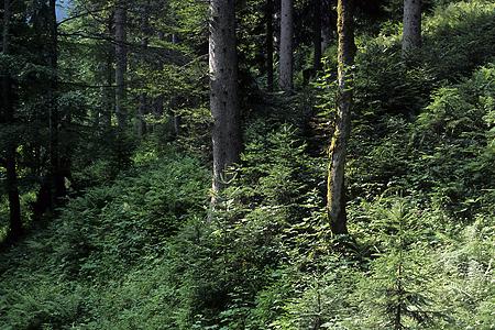 Bergmischwald, Bad Reichenhall, Bayerische Alpen, 3.7.1993