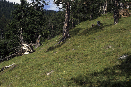 Bergwald, Wank, Garmisch-Partenkirchen, Bayerische Alpen, 24.8.1