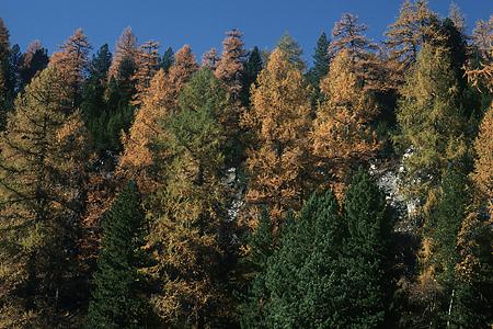 Lärchen-Fichten-Wald, Engadin, Schweiz, 28.10.1994