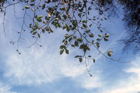 Buchenast mit verkleinerten Blättern und Blattverlusten im Sommer